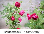 Stock photo summer garden rose beautiful flower bush background 453908989