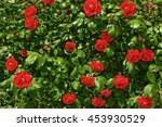 Stock photo bush with flowers red roses 453930529