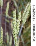 Small photo of Bread wheat (Triticum aestivum)