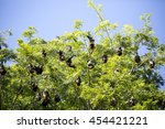 Small photo of Large group of Mauritian flying foxes (Pteropus niger), roosting in the canopy of a large tree, growing in the Sir Seewoosagur Ramgoolam Botanical Garden, Mauritius.