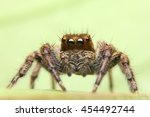 Jumping spider  spider in...