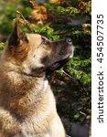 Dog Breed Akita Inu Looking Up...