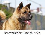 Dog Breed Akita Inu In The...