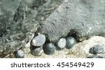 Small photo of Marine molluscs gathered on rocks and sand within the intertidal zone