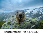 Portrait Of Marmot In The...