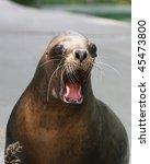 Barking Sea Lion