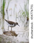 Small photo of Common sandpiper (Tringa hypoleucos, Actitis hypoleucos) at river bank. National park Plesheevo Lake, Yaroslavl region, Russia
