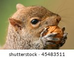 American Grey Squirrel  Sciuru...