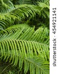 Fern Trusnik Common Or Black...