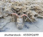 Small photo of Spiny lobsters, also known as langouste or rock lobsters, are a family (Palinuridae) of about 60 species of achelate crustaceans, in the Decapoda Reptantia. Surin islands, Phang Nga, Thailand.