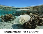 Small photo of Bleached Acropora coral in shallow water, due to El Nino, Pacific ocean, French Polynesia