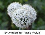 white onion flower