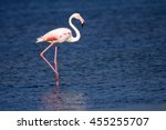 Greater Flamingo. Blue Water...