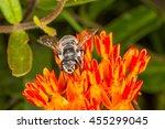 Texas Leaf Cutter Bee ...