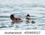 Common Hippopotamus In The...