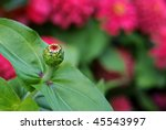 Soft abstract image of zinnia bud with blossoms in background.  Extremely shallow dof with focus limited to the bud. - stock photo