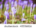 crocus flowers in forest with shallow depth of field - stock photo