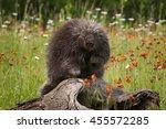 porcupine  erethizon dorsatum ... | Shutterstock . vector #455572285