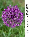 Small photo of Bee on Allium Flower (Allium christophii), Germany