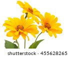 set of 3 orange osteospermum... | Shutterstock . vector #455628265