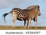 Baby Zebra Foal Drinking From...
