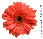 Red Daisy Flower Isolated On...