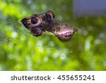 Small photo of African dwarf crocodile (Osteolaemus tetraspis) on the surface of water