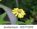 yellow  orange zinnia   Shutterstock . vector #455771095