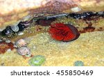 Small photo of Bright red Waratah Sea anemone(Actinia tenebrosa) in a rock pool on the New South Wales coast, Australia