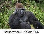 Silverback Gorilla On Confusin...