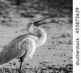 Small photo of African spoonbill standing in water at sunrise, Africa