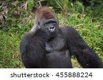 western lowland silverback... | Shutterstock . vector #455888224