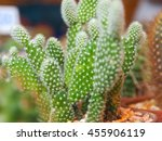 Small photo of Close up young cactus on potted plant strewn with pebbles for sale at the market with blurred background, opuntia microdasys albispina or albata