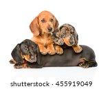 group dachshund dogs lying... | Shutterstock . vector #455919049