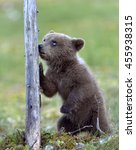 the bear cub standing on hinder ... | Shutterstock . vector #455938315