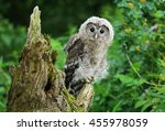 Nordic Tawny Owl