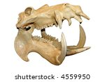 Hippopotamus Skull With Wide...