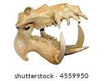 Hippopotamus Skull With Wide...