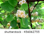 Small photo of kiwi actinidia white flower in garden