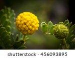 Yellow Craspedia Drumstick...