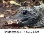 Small photo of Alligator sinensis or Chinese alligator