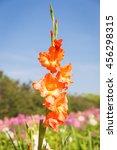 Orange Gladiolus Flower In The...