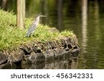 A Striated Heron  Butorides...