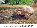 Big Turtle Walking On The Gras...