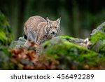 Lynx In The Moss Stone Forest....