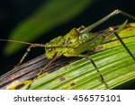 Katydid Of Borneo   Dragon Hea...
