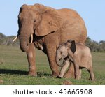 African Elephant Baby And...