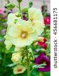 Small photo of Colorful Malva Alcea rosea hollyhock garden flowers background
