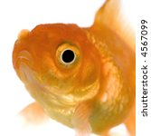 goldfish in front of a white... | Shutterstock . vector #4567099