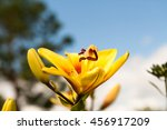 Yellow Lily In The Green Summe...
